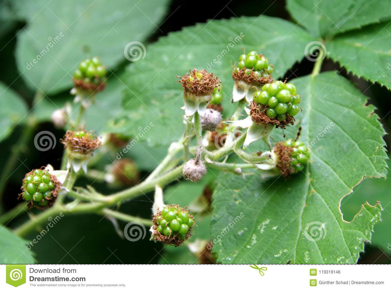 Blackberries in the beginning stage at the bush