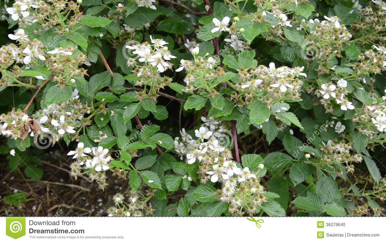 Beautiful bush with small white flowers ideas images for wedding blackberries flowers stock video image of closeup leaves 36279640 mightylinksfo Images