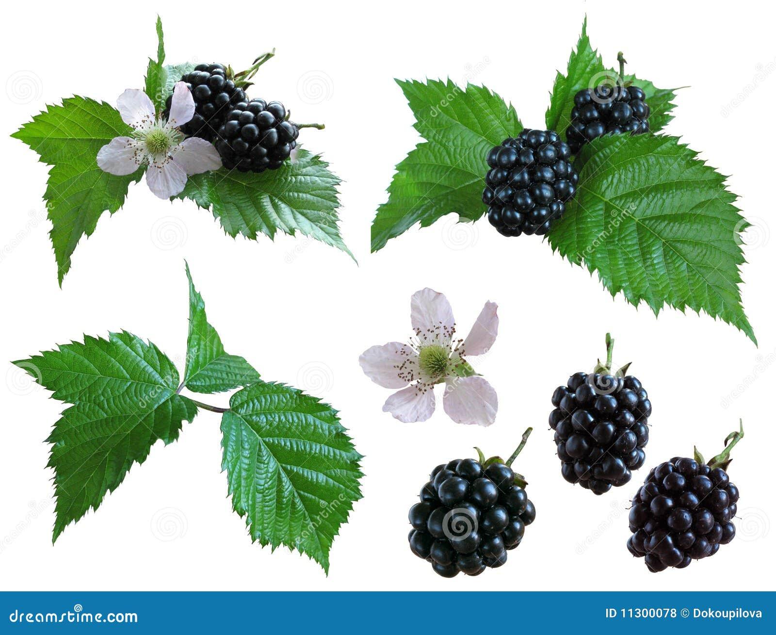 Blackberries_isolated