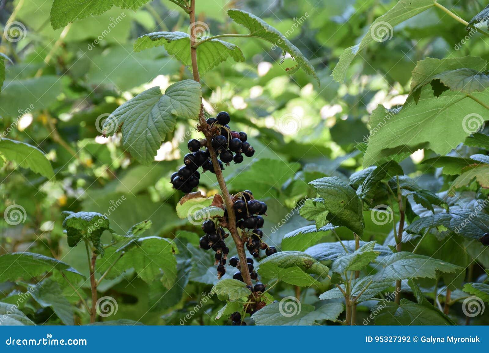 blackberry anlage