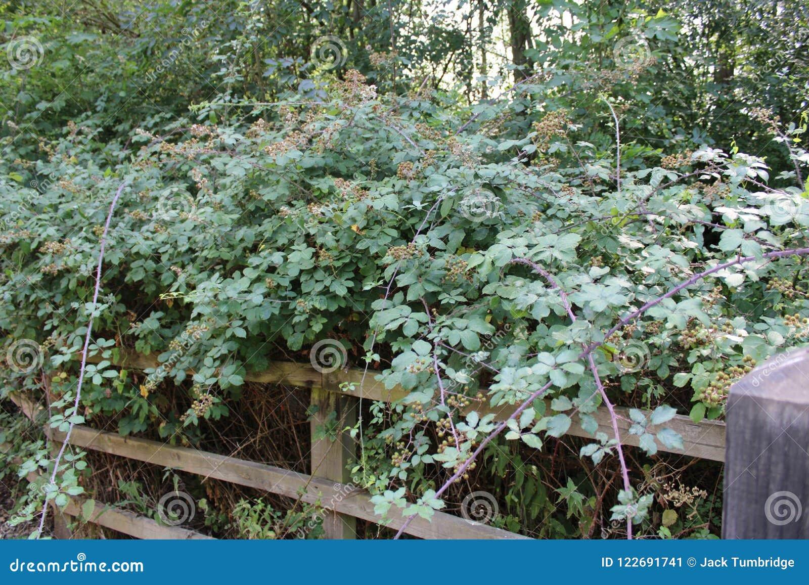 Blackberry buske blomma