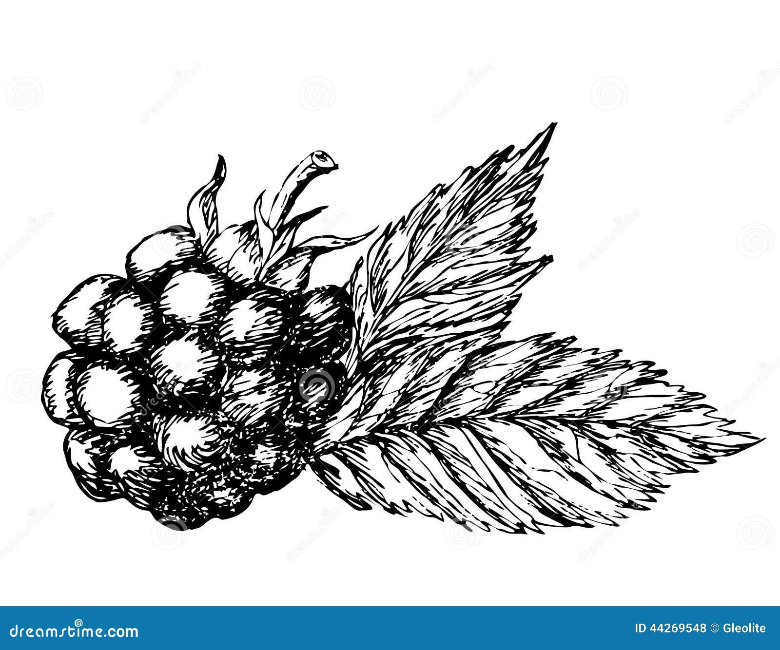 Stock Illustration Blackberry Hand Drawn Sketch Vector Illustration Image44269548 on Healthy Food Fruit
