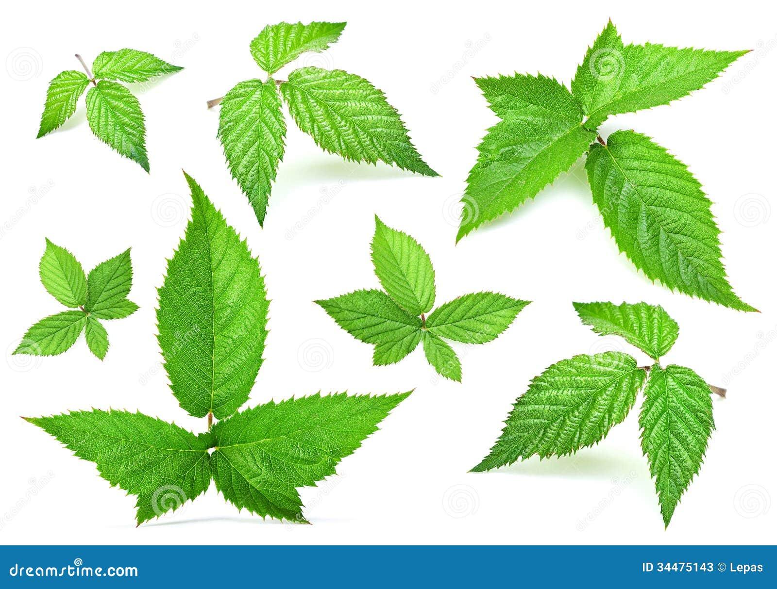 blackberry leaf set fresh isolated white 34475143