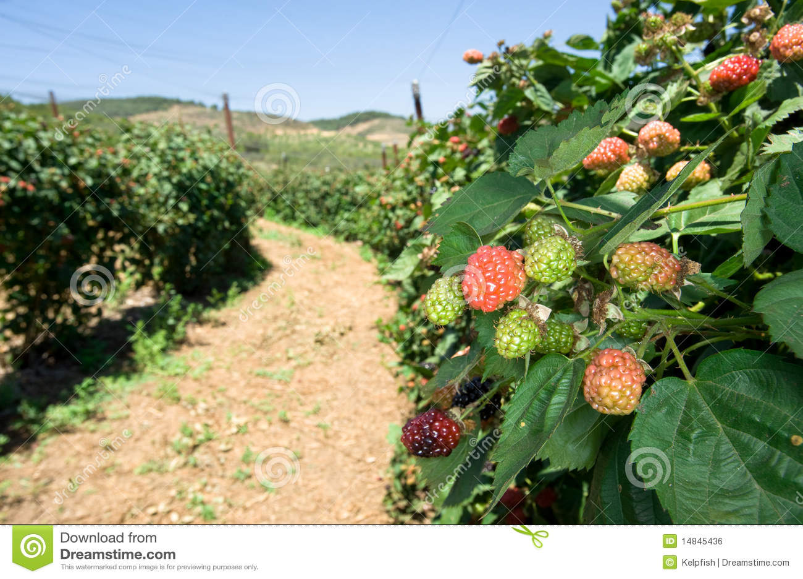 blackberry orchard 14845436