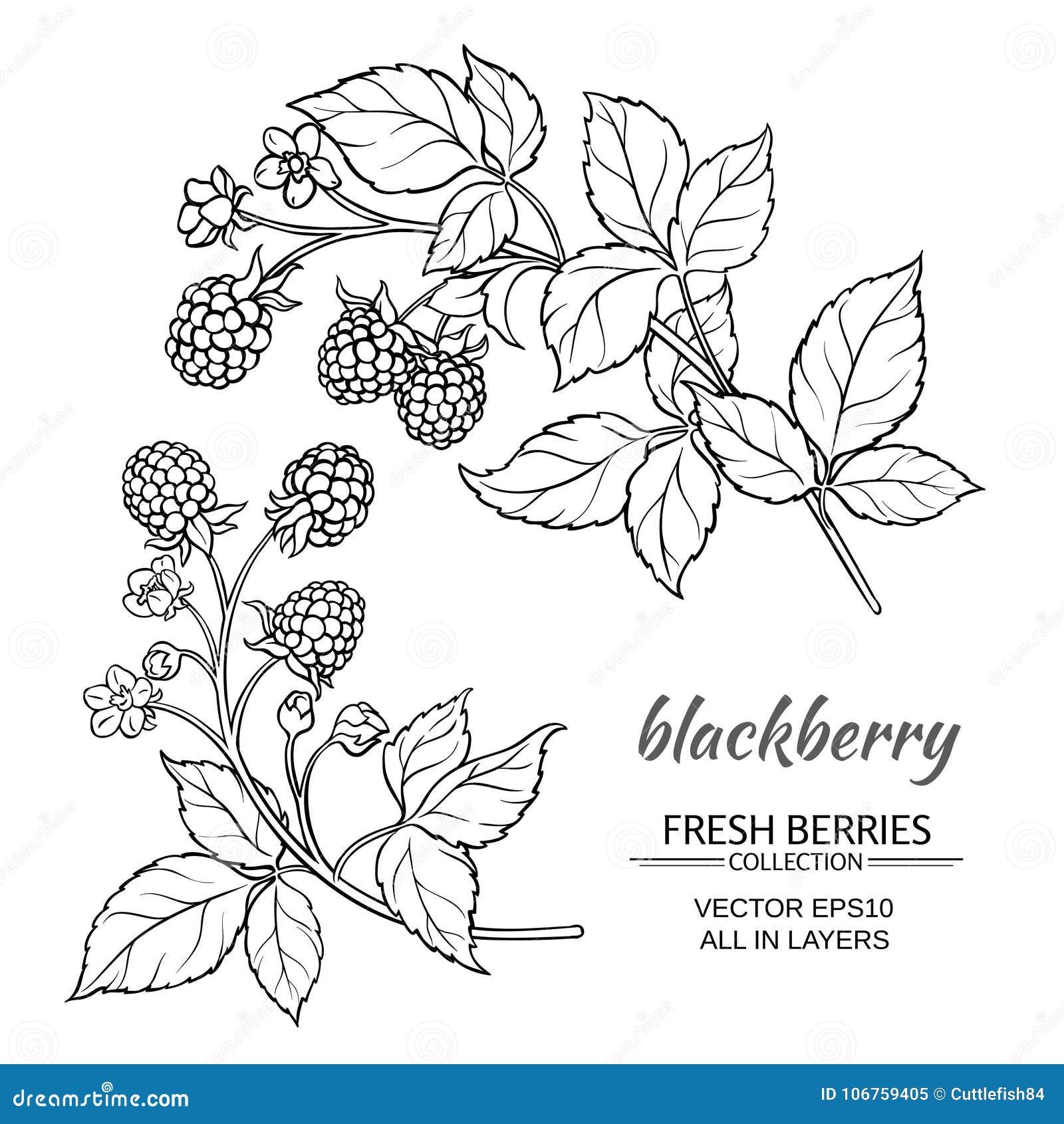 Blackberry vektoruppsättning