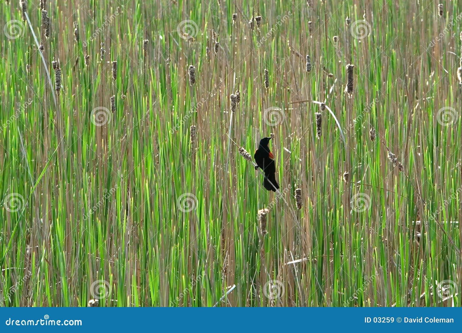 Blackbird czerwony skrzydlaty stwór