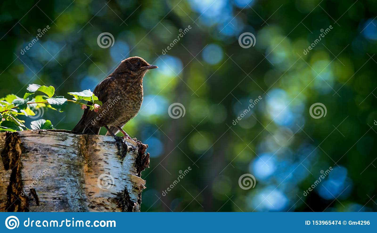 Blackbird fledgling perched on a the stump of a tree