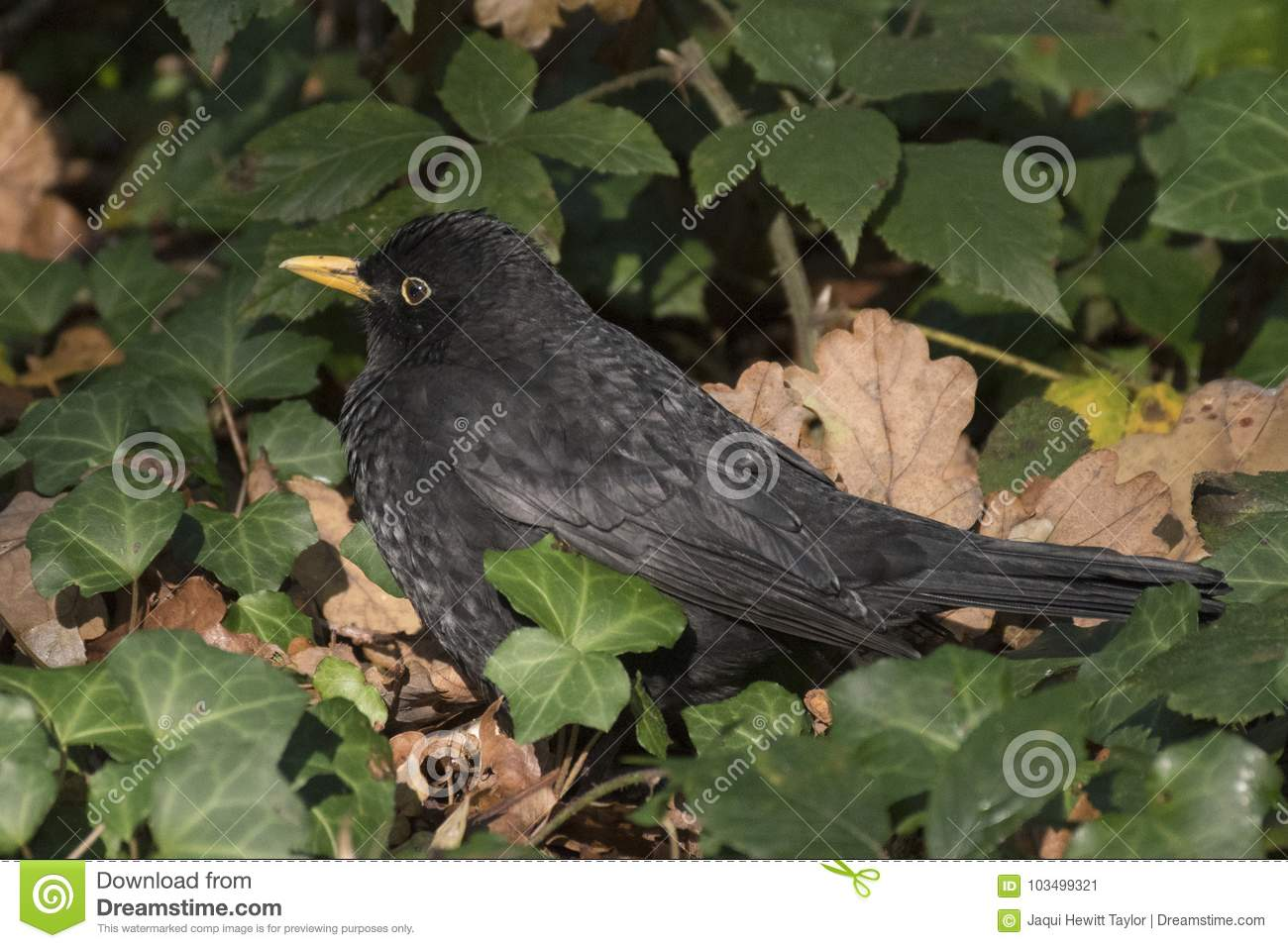 A blackbird in the ivy