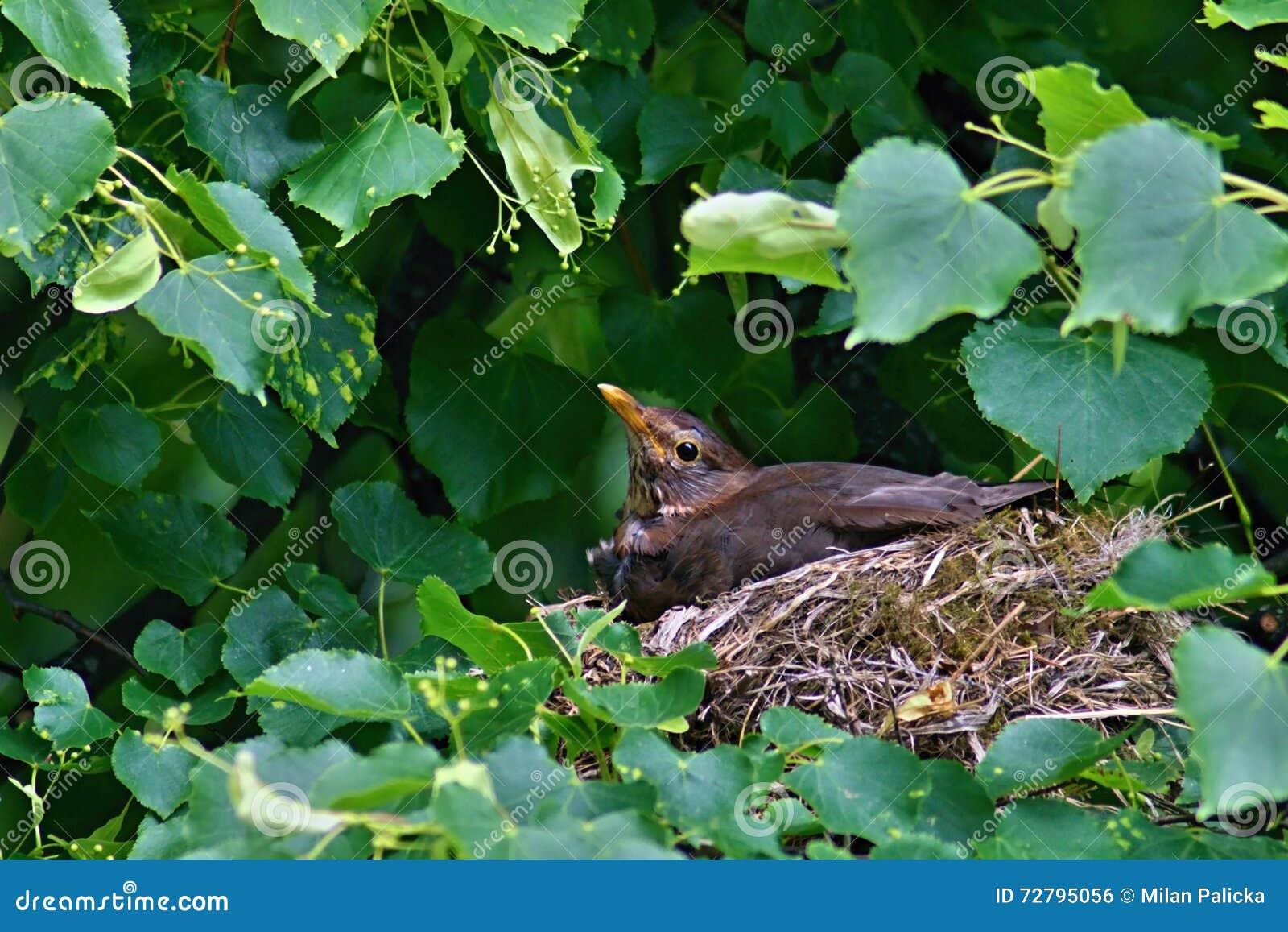 Blackbird on tree on nest