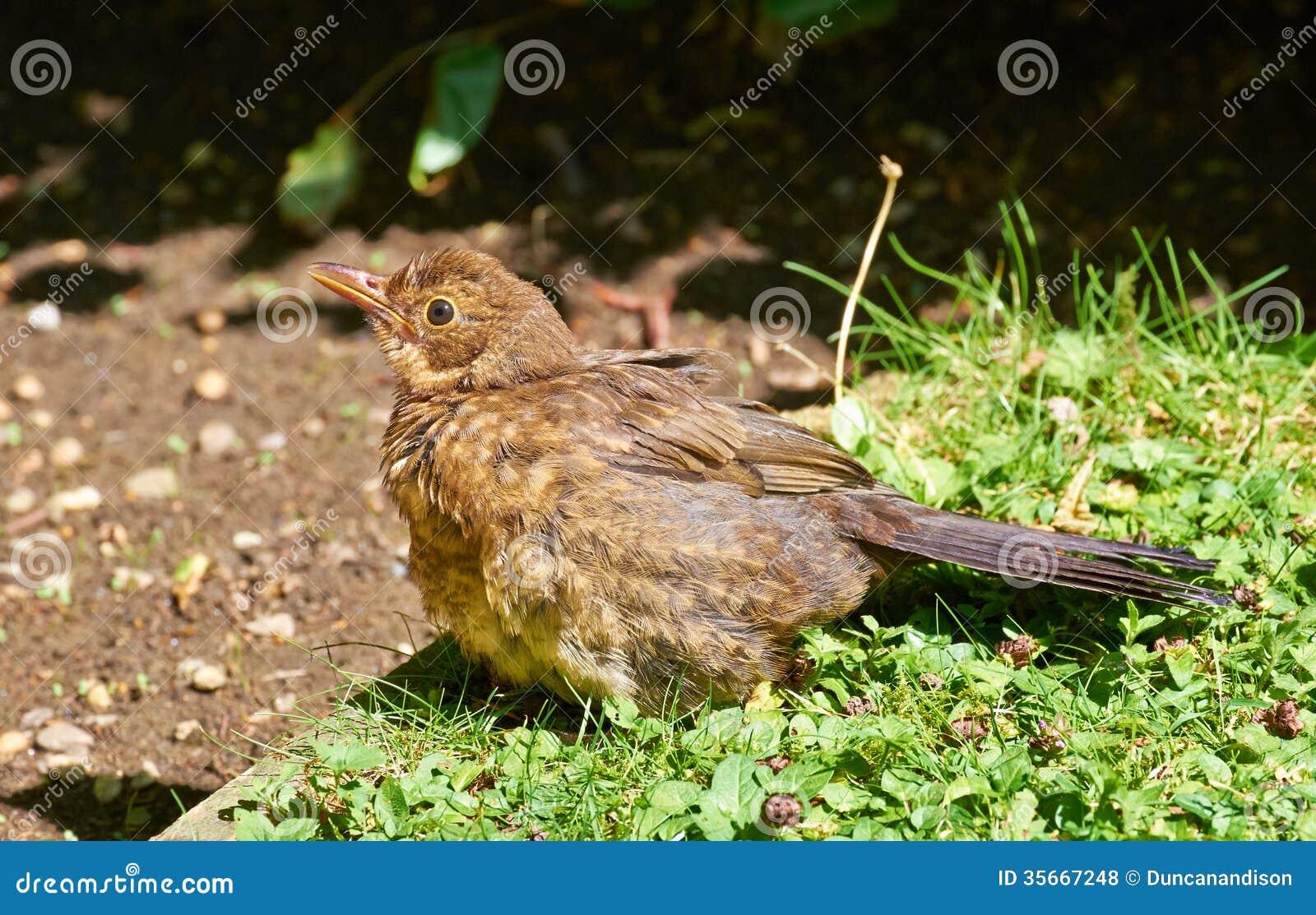 Blackbird royalty free stock photos image 35667248 for Blackbird designs english garden