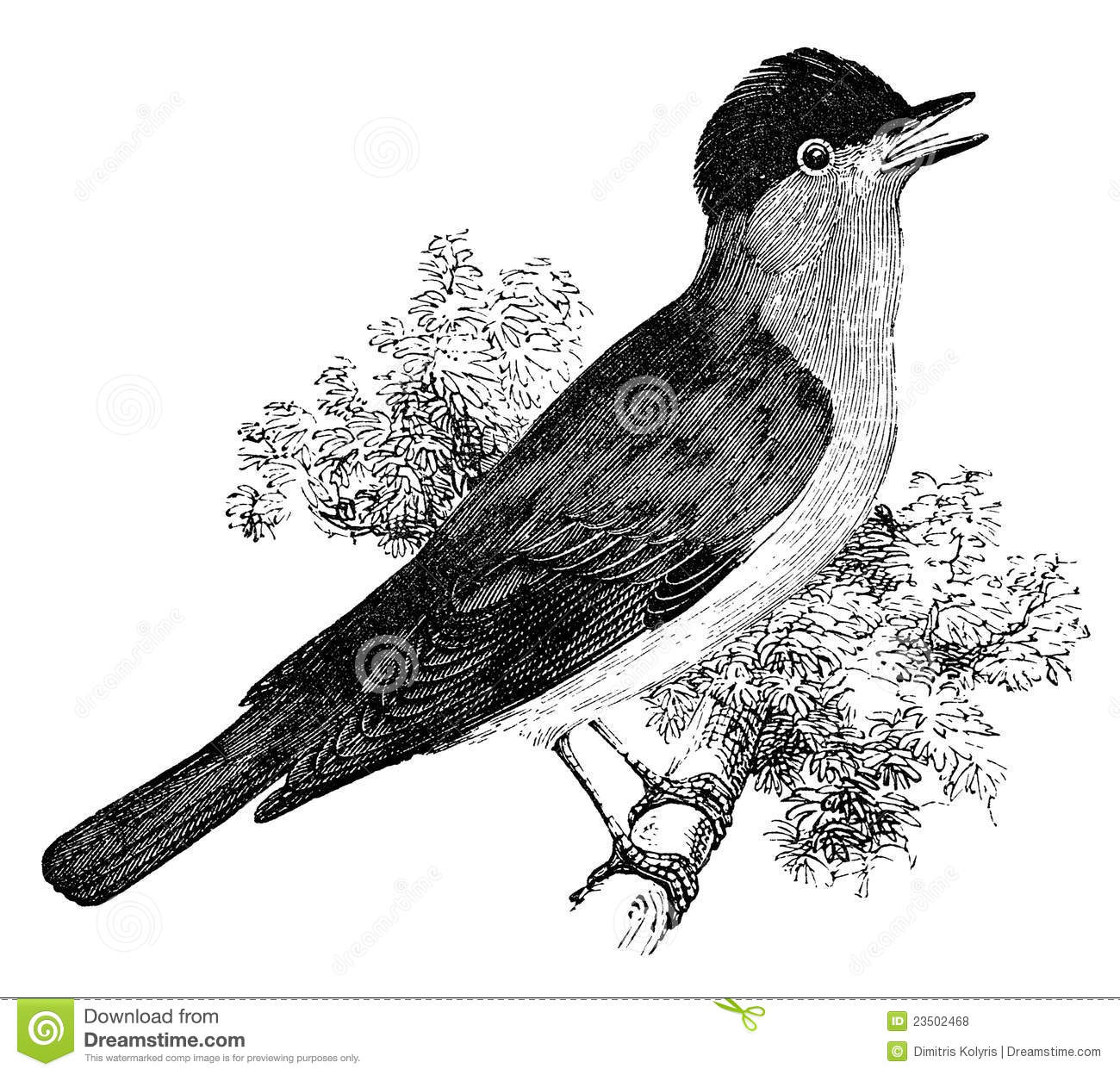 Blackcap Bird Vintage Illustration Royalty Free Stock ...