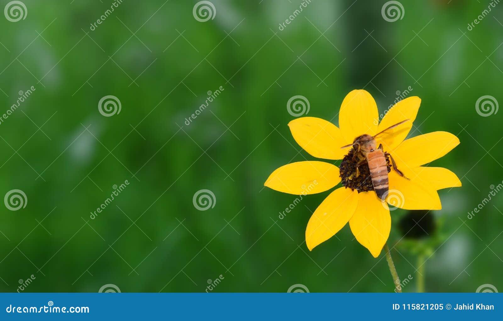 Blackeyed Susan, słonecznik z pszczołą
