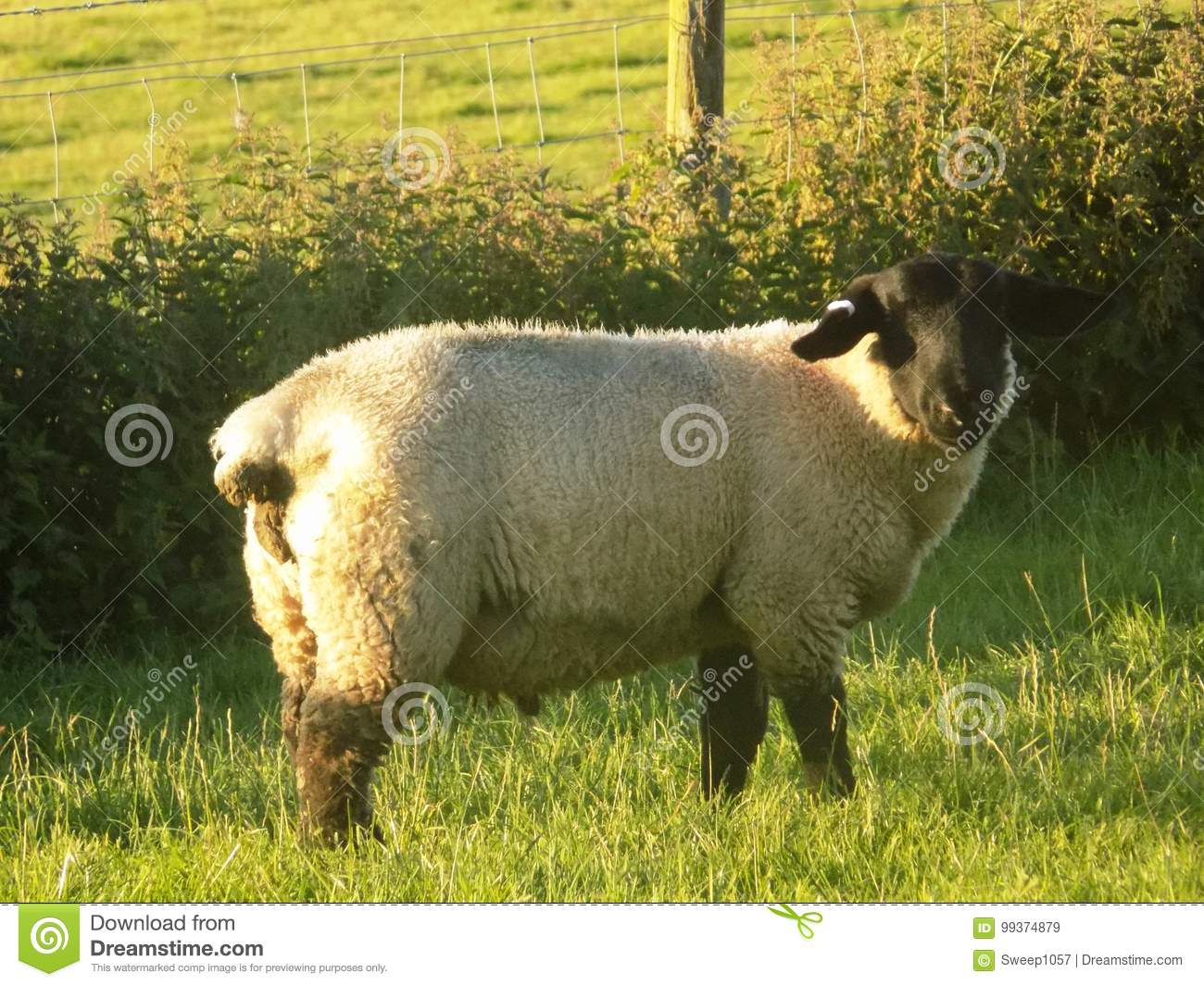 Blackfaced Sheep Crookham Northumberland England Stock
