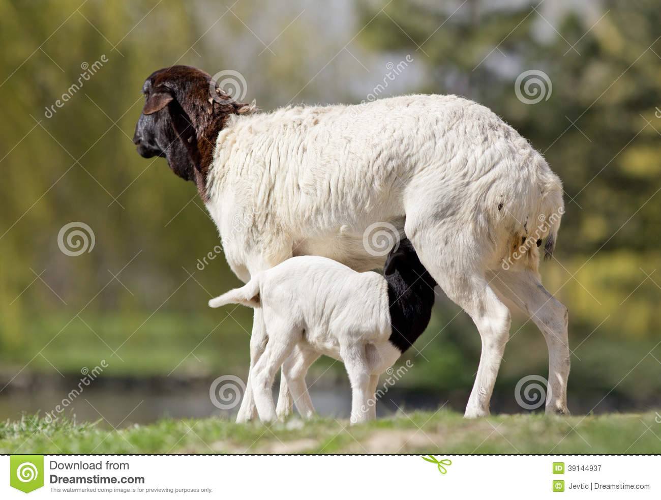 Royalty Free Stock Photography Blackhead Persian Sheep Infant Suckling Milk Standing Pose Image39144937 on Sounds Of Farm Animals