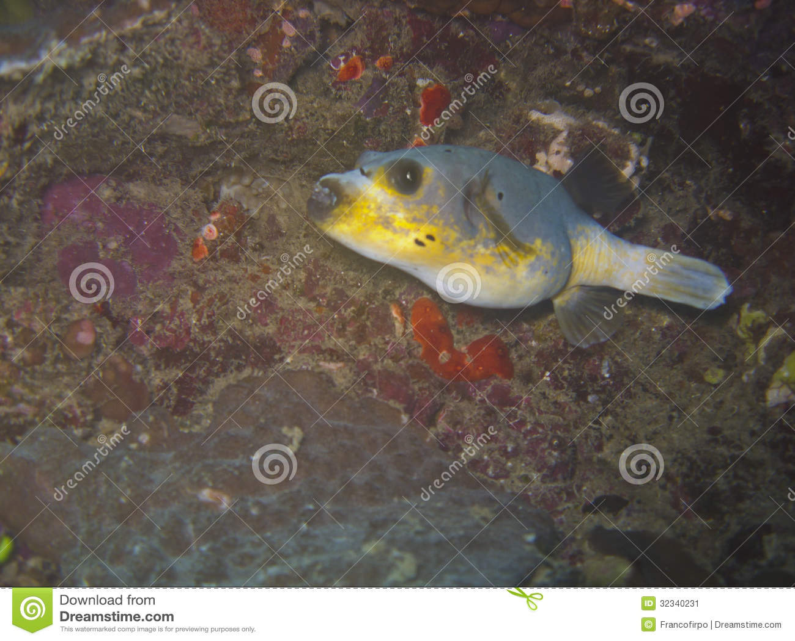 Blackspotted Pufferfish Stock Image Image 32340231
