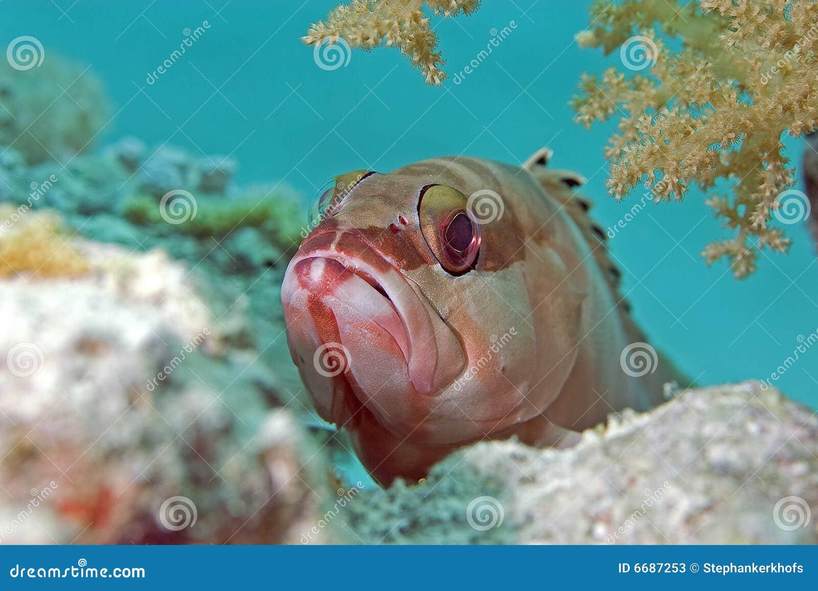 Blacktip epinephelus fasciatus grouper