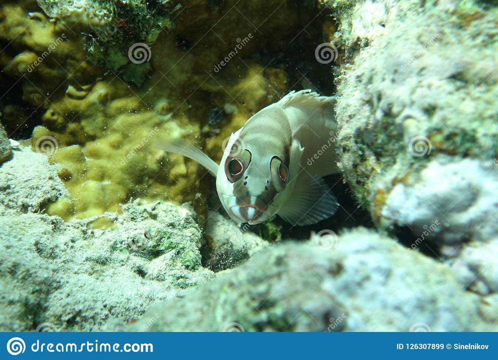 Blacktip grouper Epinephelus fasciatus in the Red Sea
