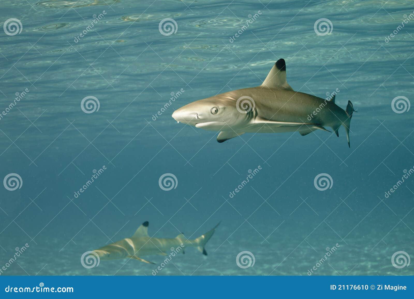 Blacktip reef shark carcharhinus melanopterus 01