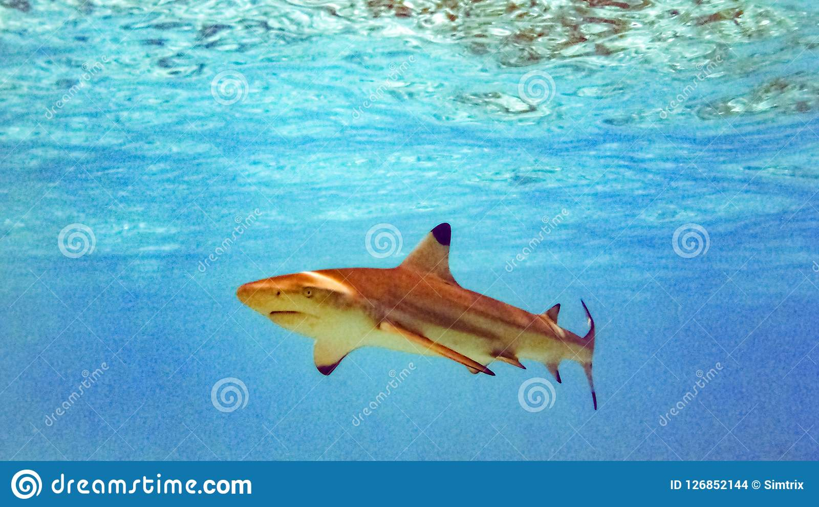 Blacktip Reef Shark Carcharhinus Melanopterus In The Shallow