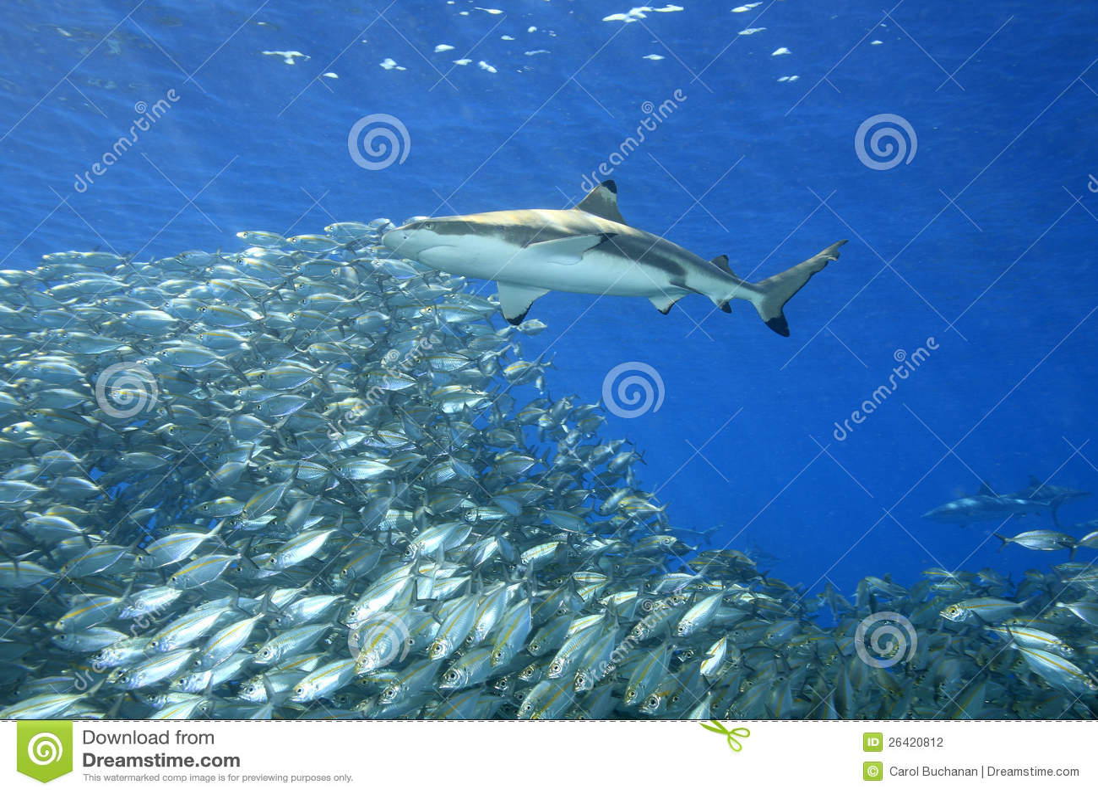 Blacktip Reef Shark with Fish