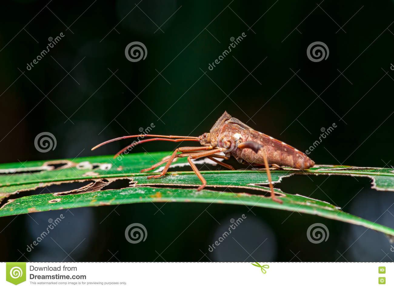Blad-betaald Insect