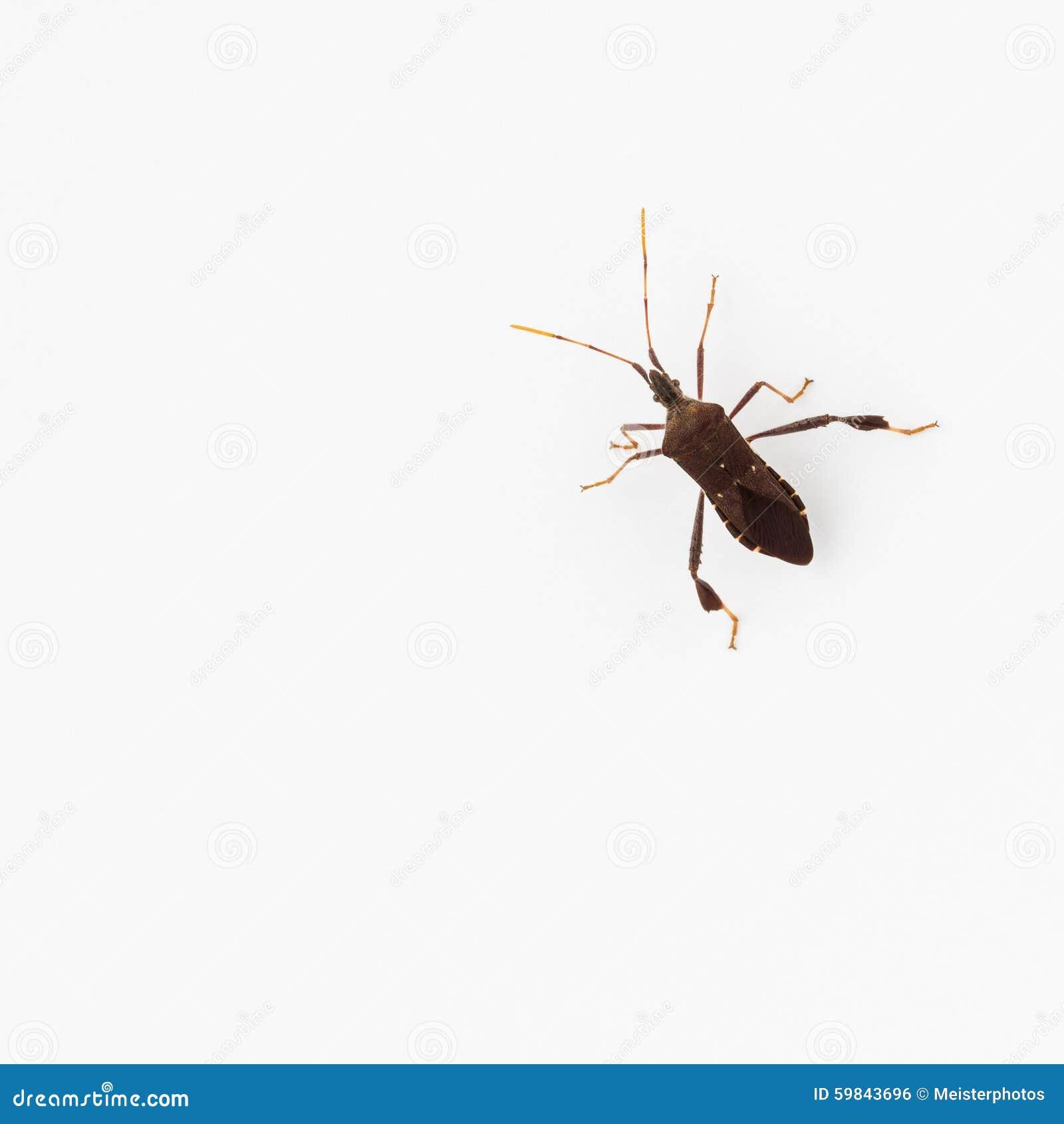 Blad-betaald insect, een sap zuigend ongedierte