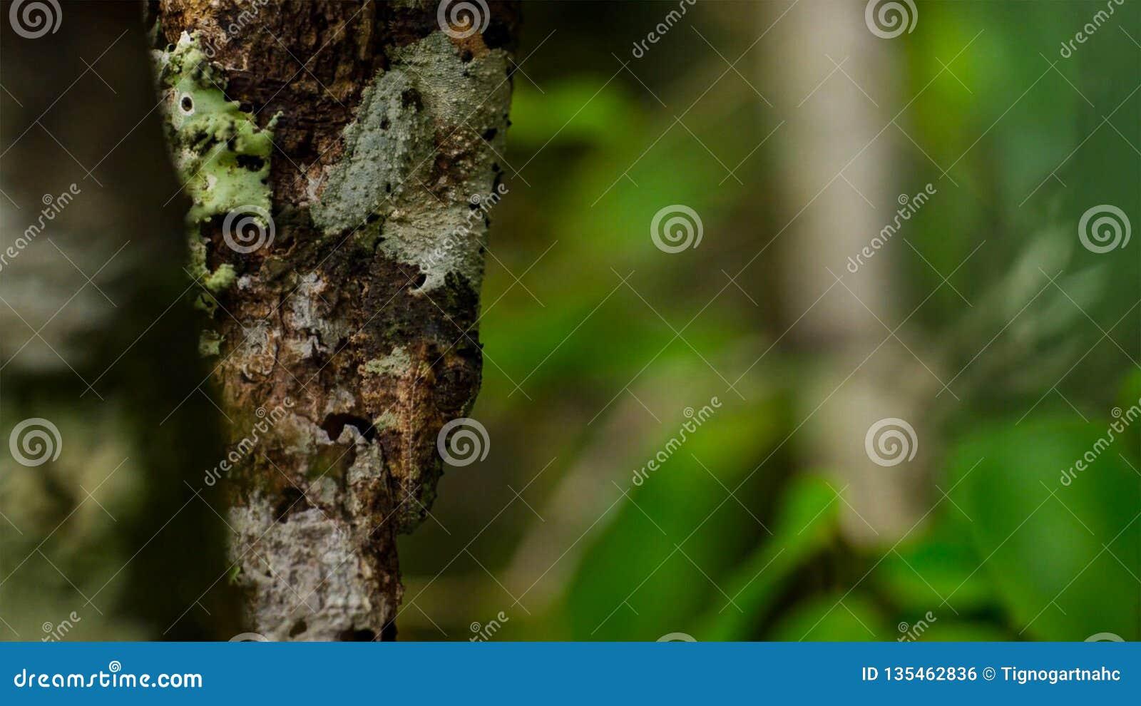 Blad-de steel verwijderde van gekko, Uroplatus-sikorae, species van gekko met de capaciteit om zijn huidkleur te veranderen om zi