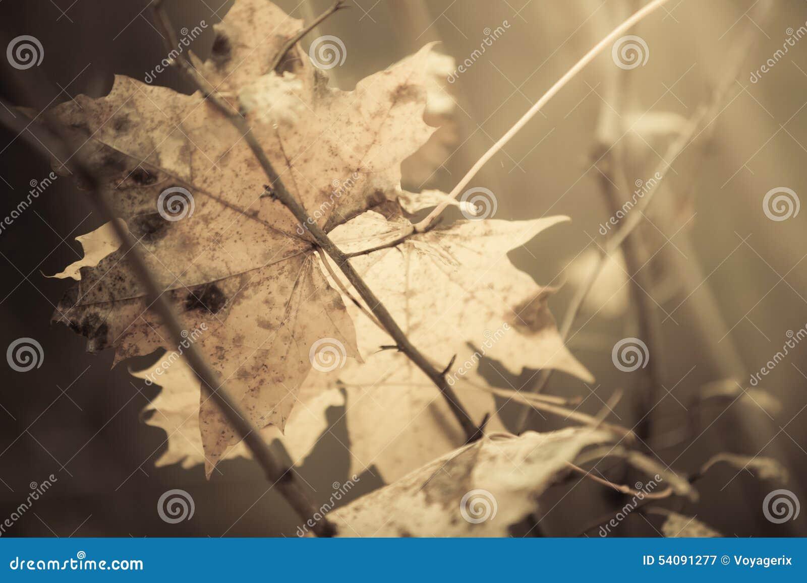 Blad van de close-up het herfst natte esdoorn in bos