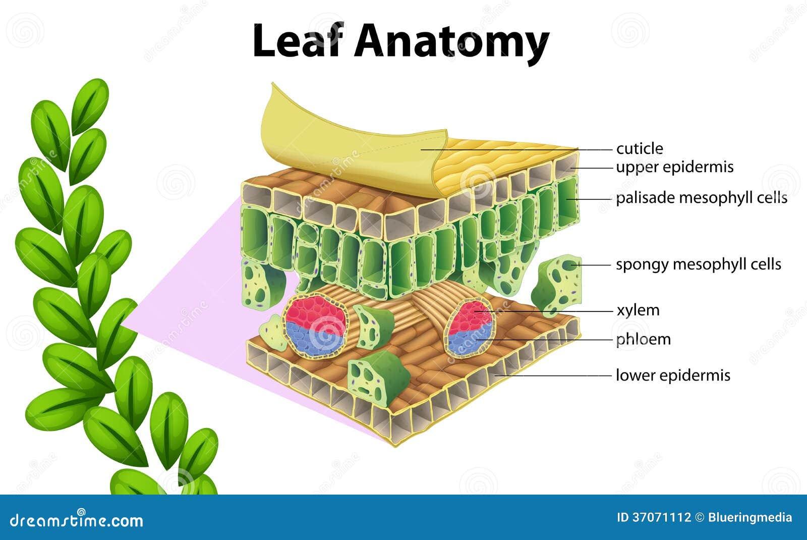 Kranz anatomy in c4 plants 3305414 - togelmaya.info