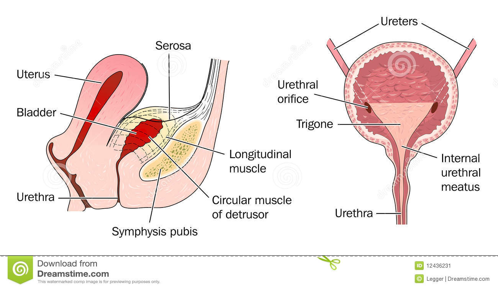 Bladder Anatomy And Relation To Uterus Stock Vector Illustration