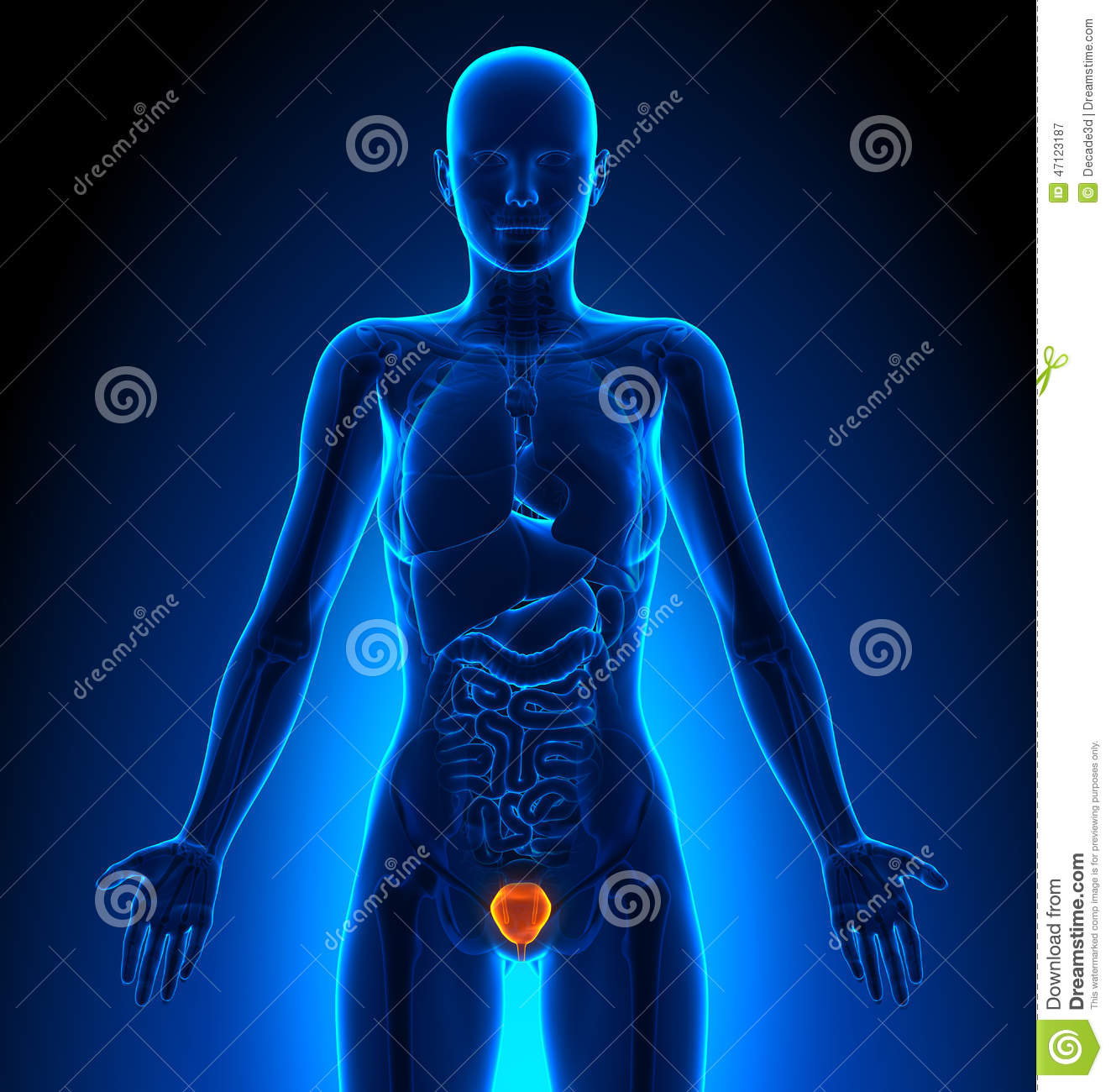 Bladder Female Organs Human Anatomy Stock Illustration