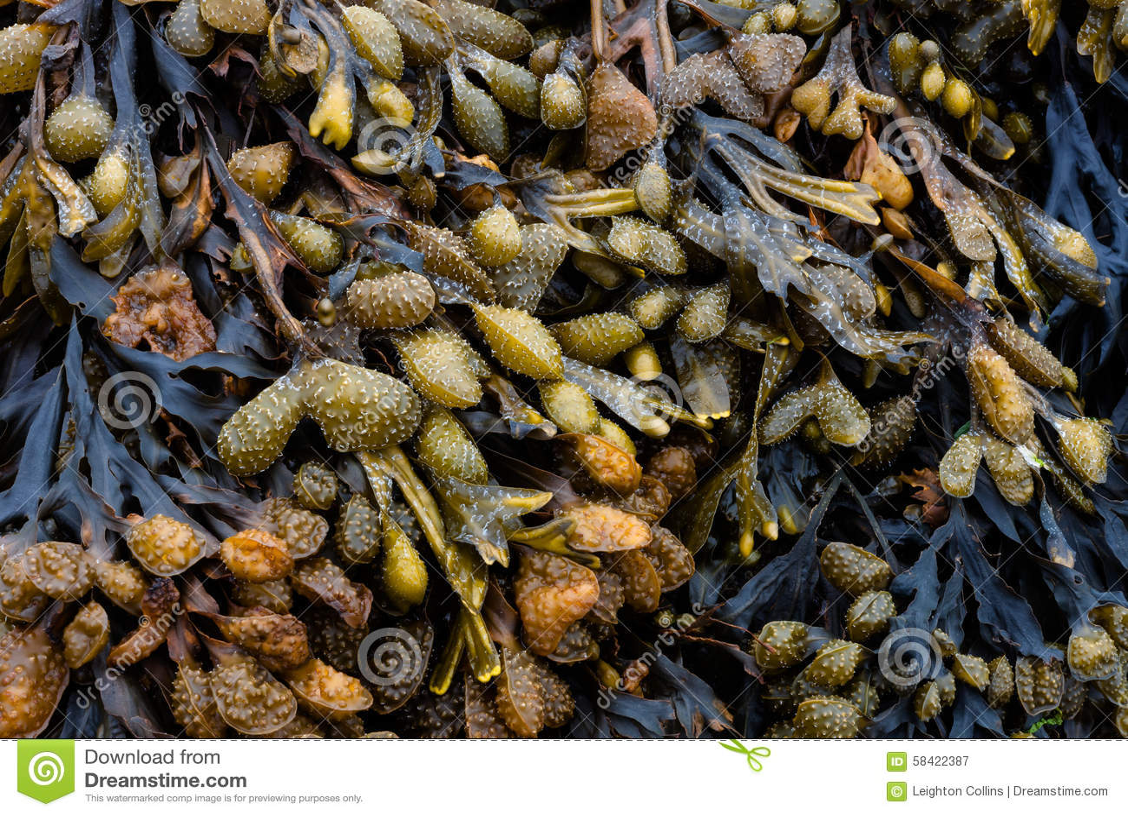 Bladderwrack algae