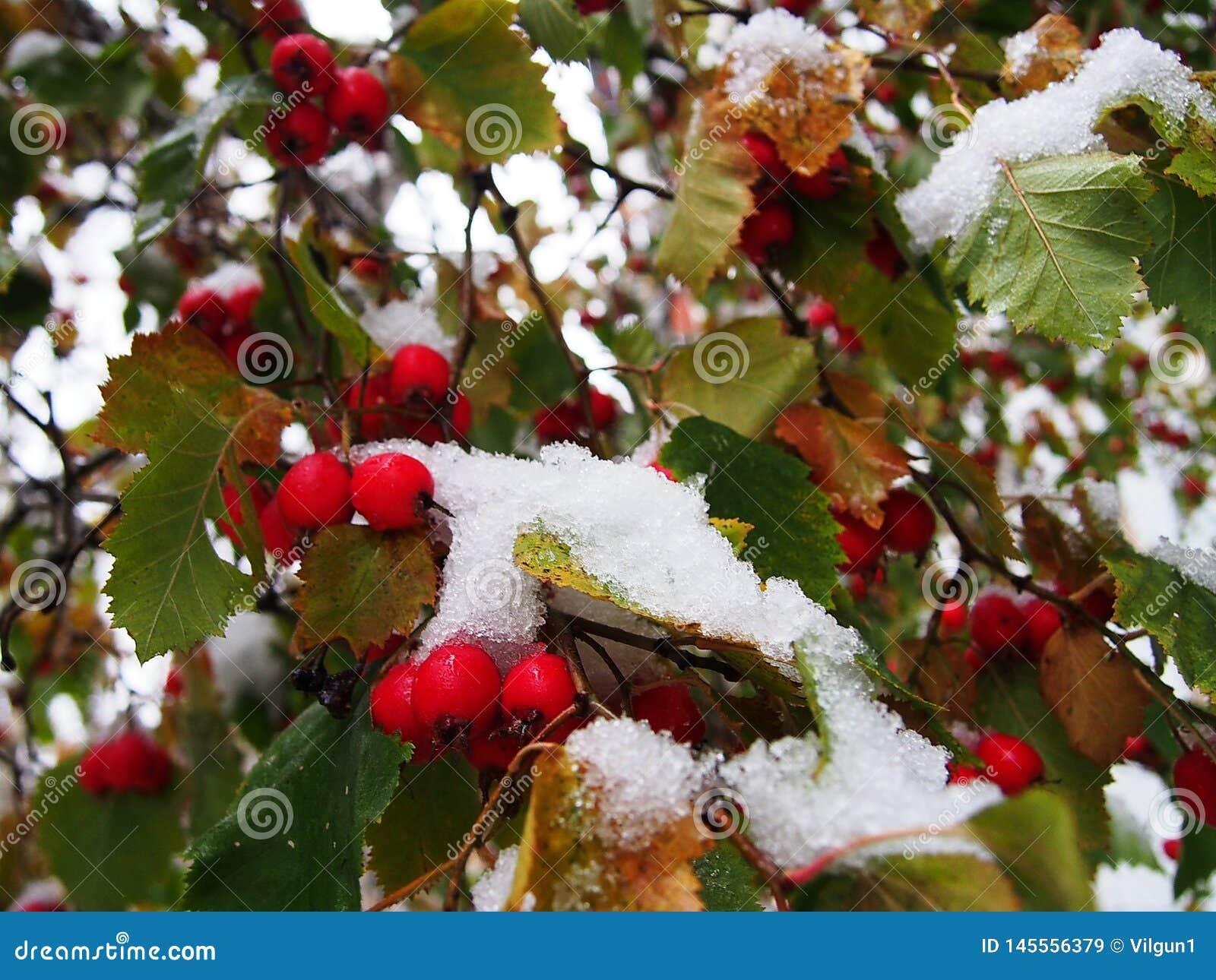 Bladeren die met sneeuw worden behandeld De vroege de herfstsneeuw viel en behandelde de Vos Details en close-up