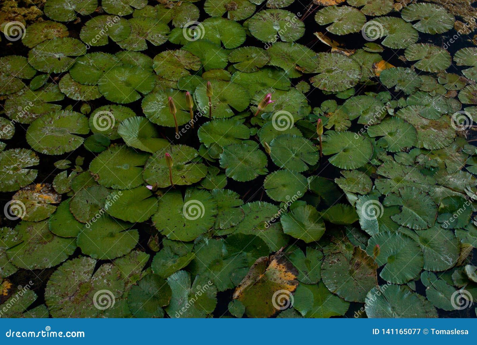 Bladeren en bloesems van waterlelies in een vijver