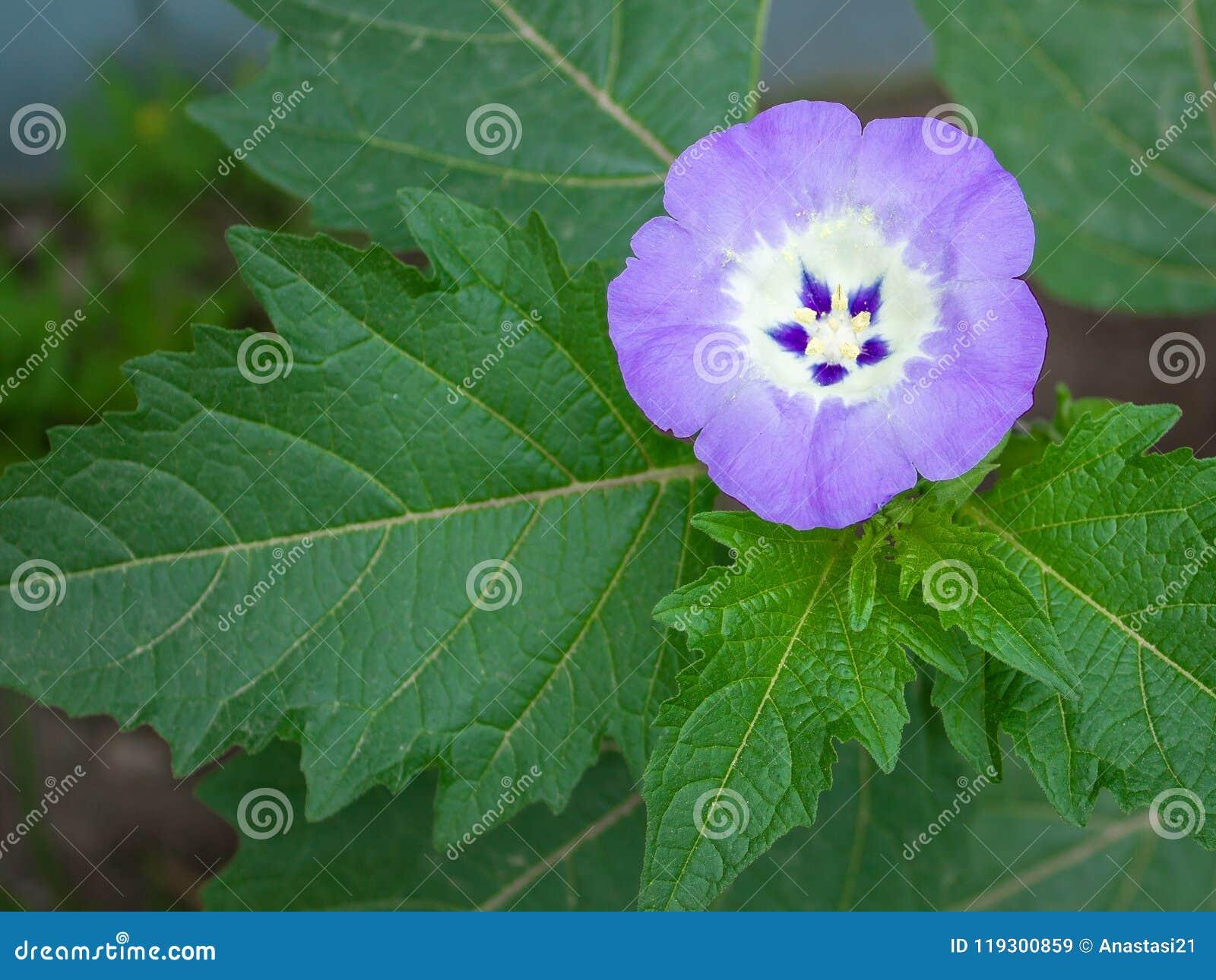 Bladeren en het bloeien physalis, Lilac bloem