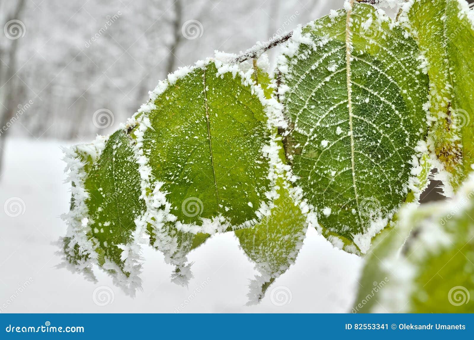 Bladeren met vorst in het de winterhout dat worden behandeld