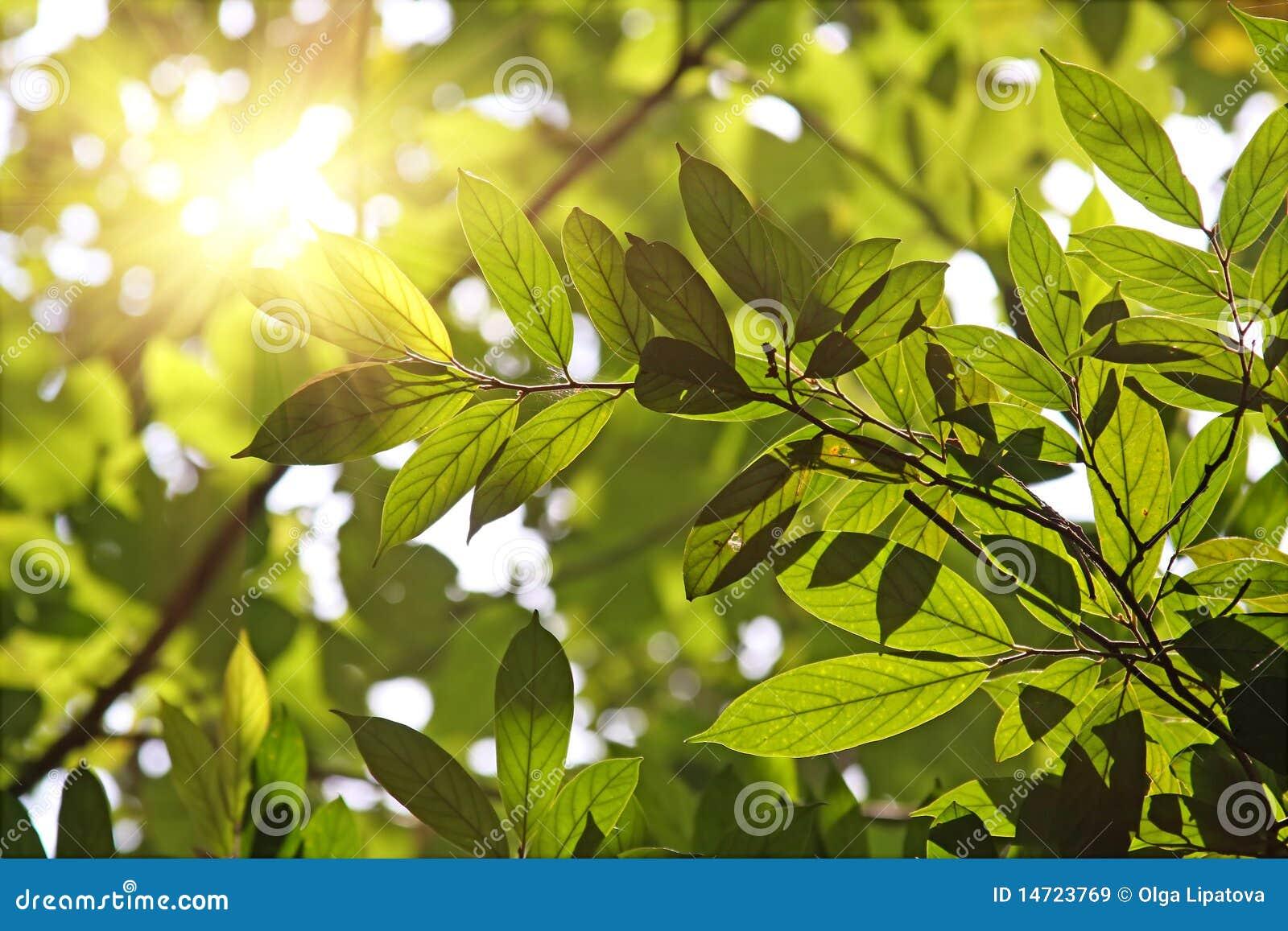 Bladeren tegen de ochtendzon