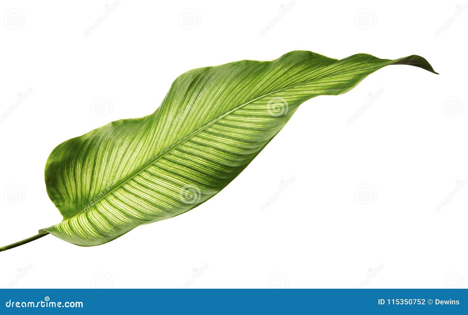 Bladeren van Calathea van Calatheaornata Pin-stripe, tropisch die gebladerte op witte achtergrond wordt geïsoleerd