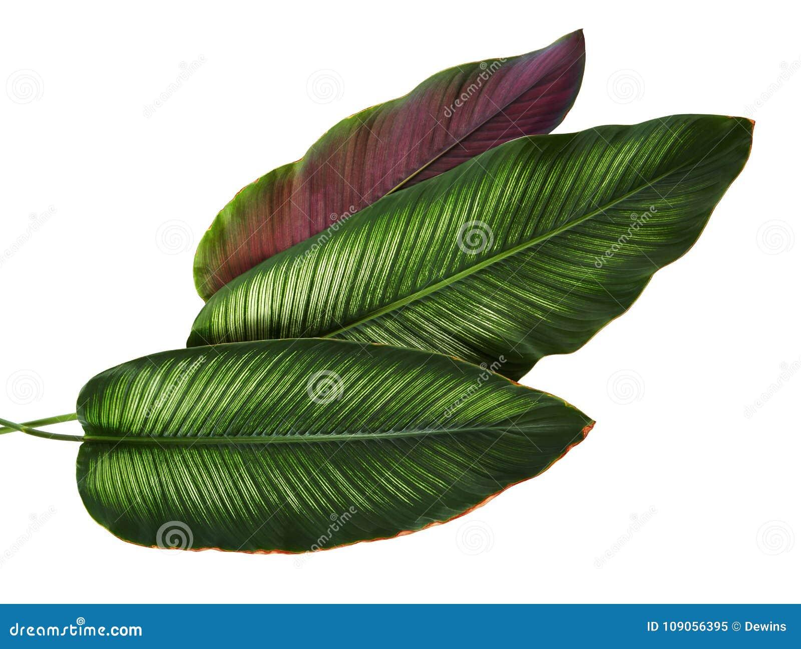 Bladeren van Calathea van Calatheaornata Pin-stripe, tropisch gebladerte dat op witte achtergrond, met het knippen van weg wordt