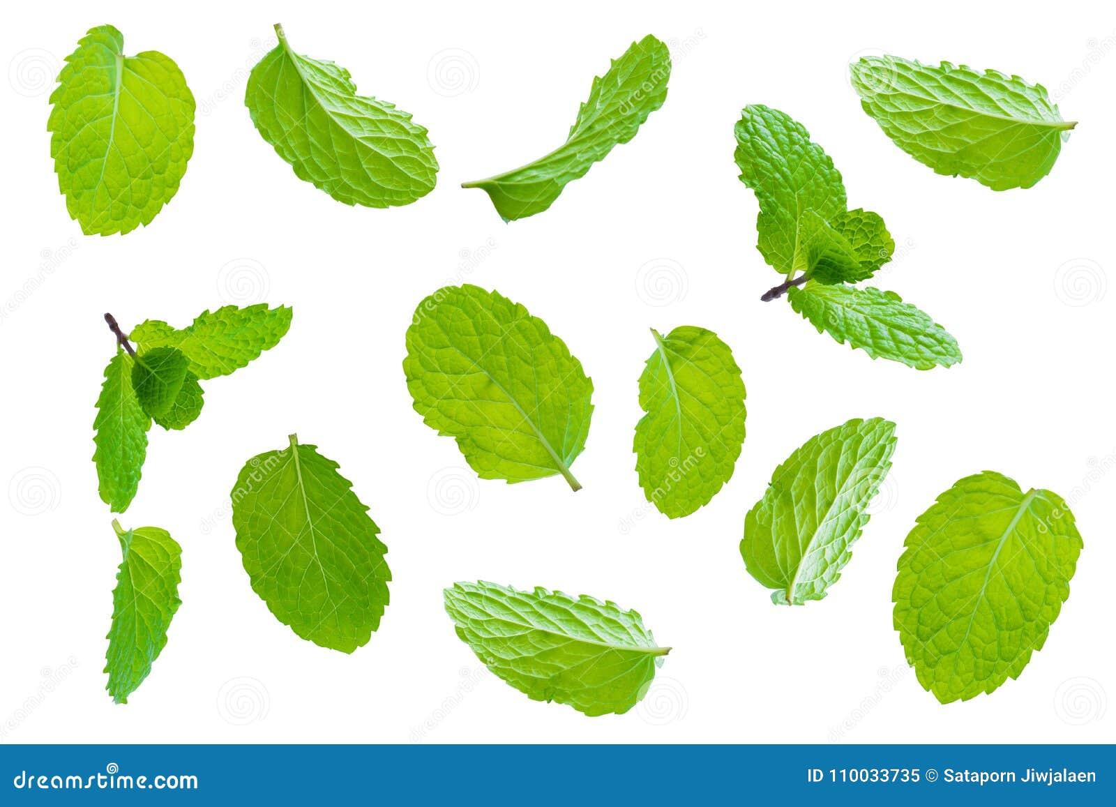 Bladeren van de vlieg de verse ruwe die munt op wit worden geïsoleerd