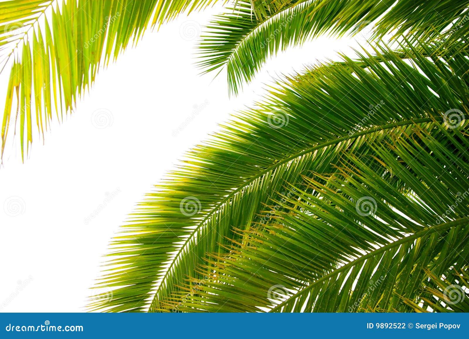 Bladeren van palm