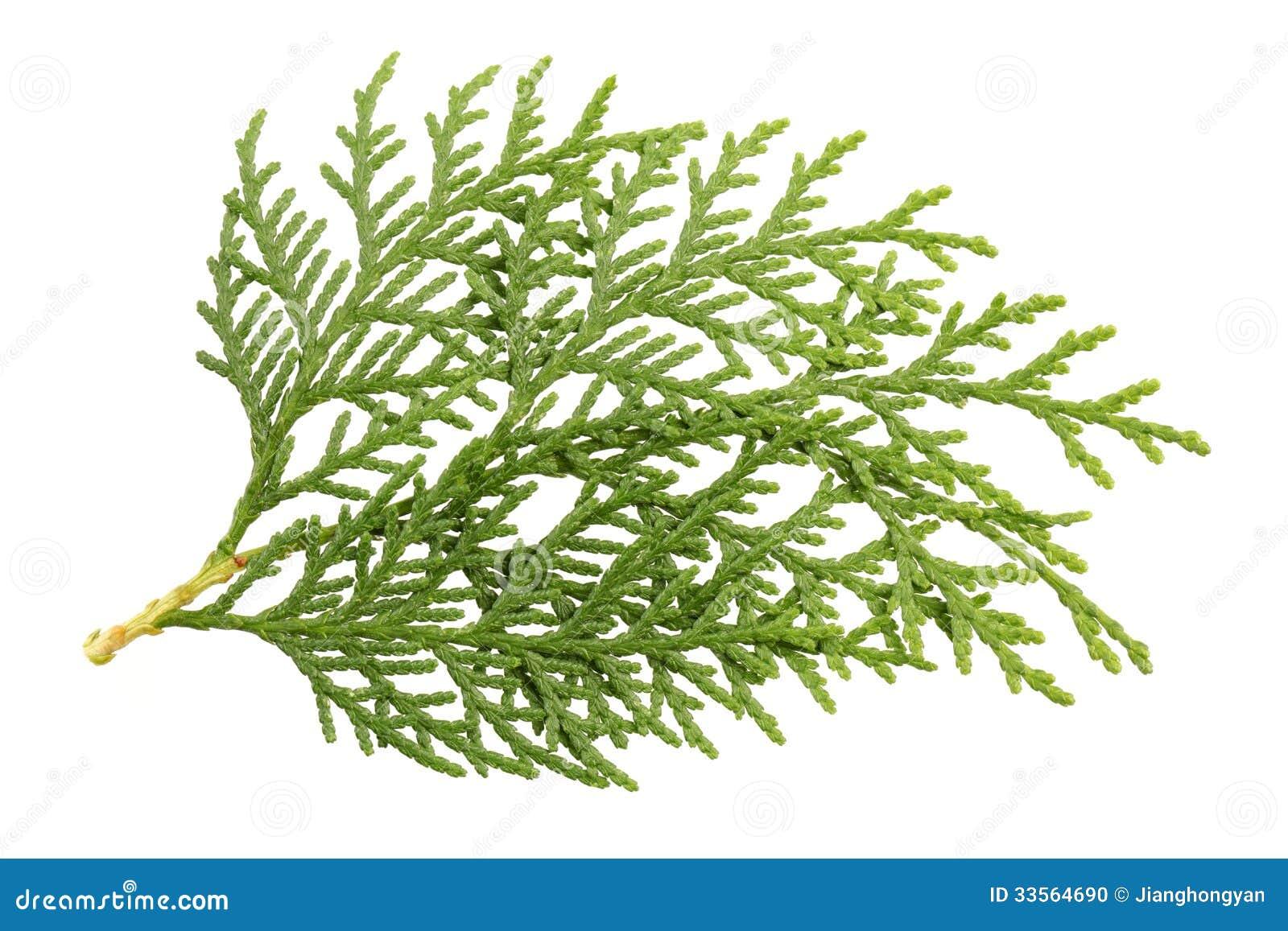 Bladeren van pijnboomboom