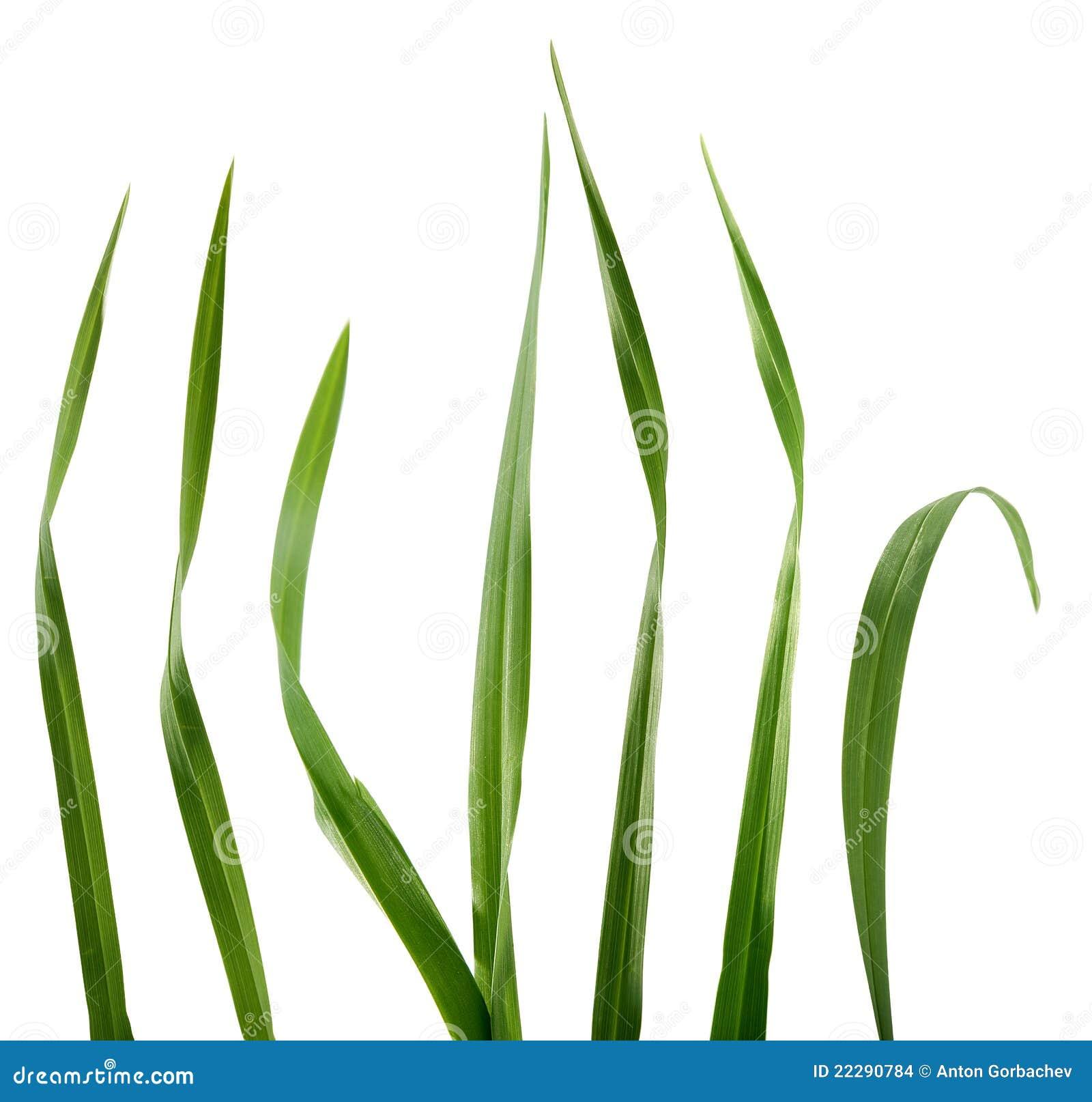blade of grass vector - photo #35