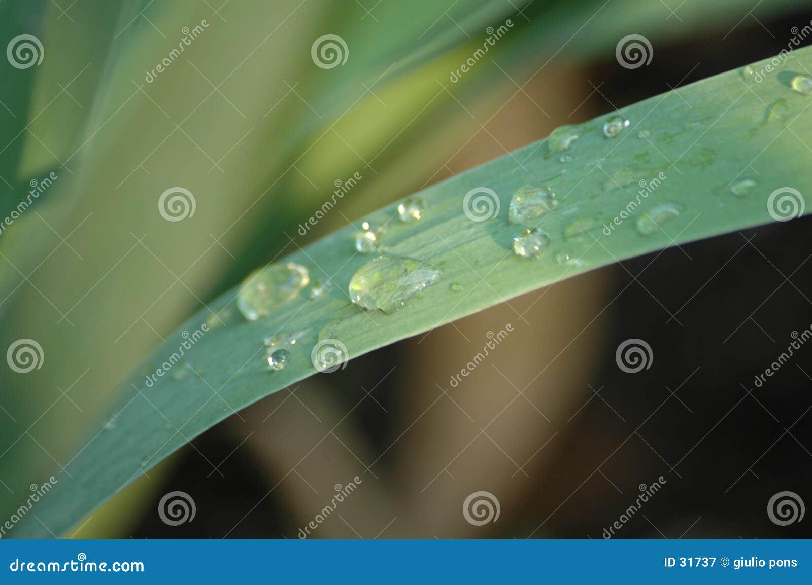 Bladgräs