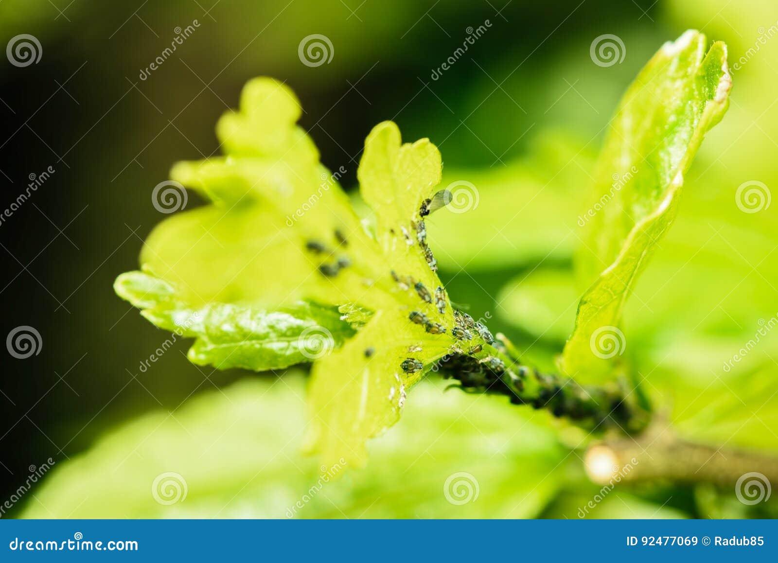 Bladlusbladlus-, bladlus-, blackflies- eller Whiteflieshemsökelse av växter