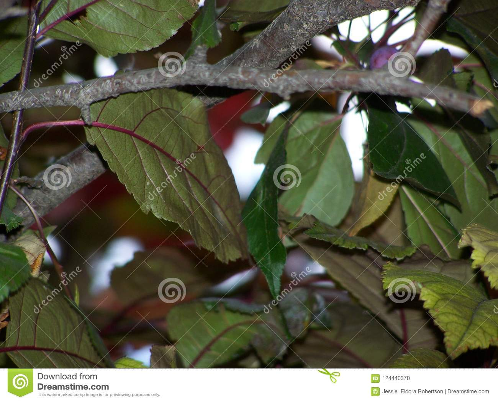 Bladsamenvatting van de Siercrabapple-boom