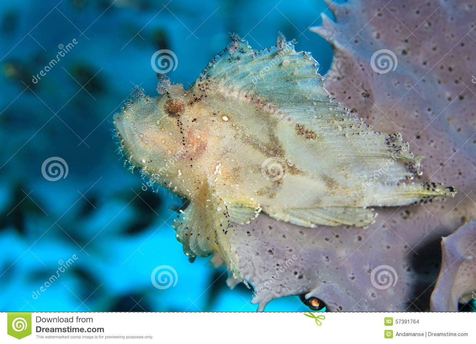 Bladscorpionfish