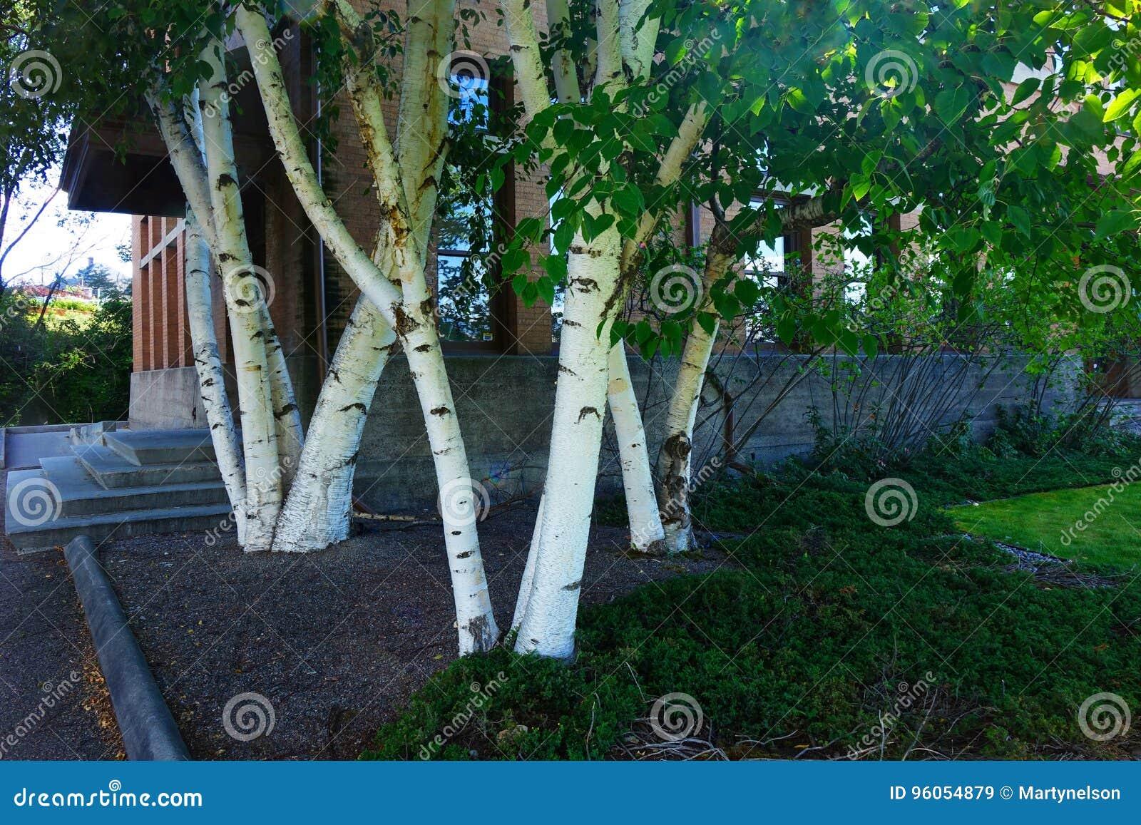Blanc-écorce Aspen Trees