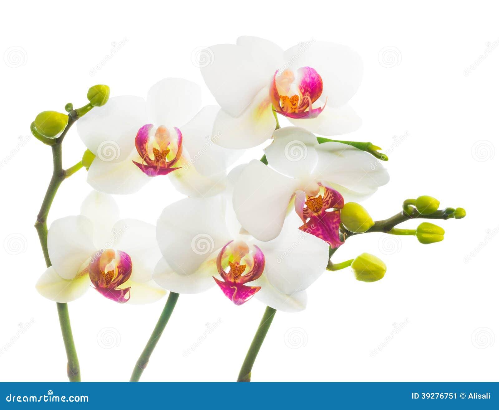 Blanc de floraison de branche avec l 39 orchid e rouge photo stock image 39276751 - Symbole de l orchidee ...