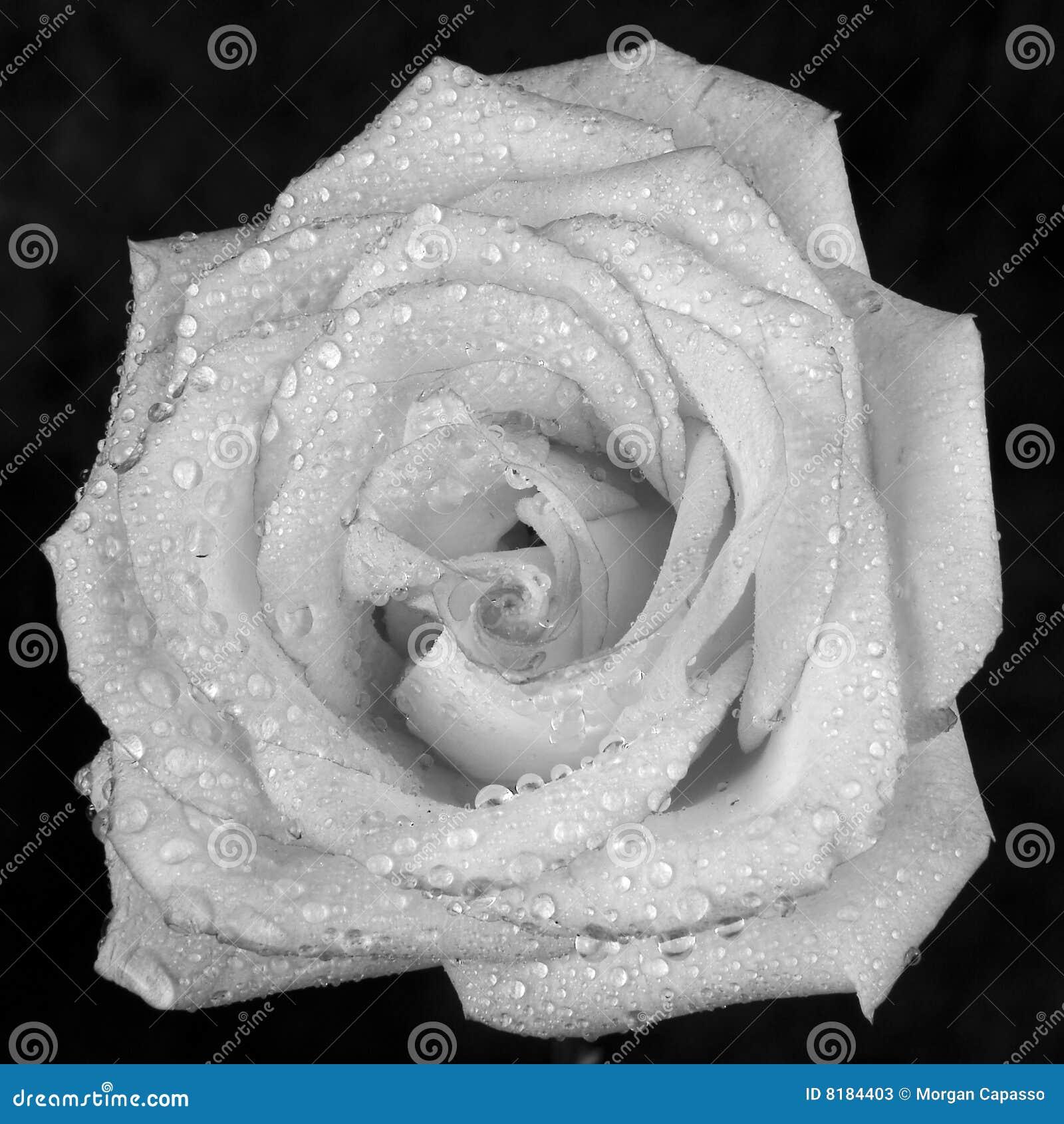 Blanc de rose de rosée